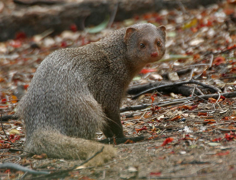 Indian_Mongoose_(Herpestes_javanicus)-_is_it-_at_Hyderabad,_AP_W_106